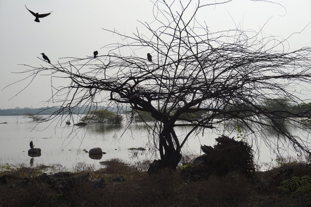 Crows at Samudiram Lake